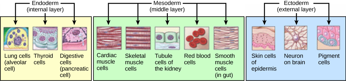 Germ Cell Layers